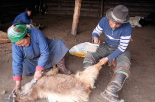 Neighbouring herders combing cashmere from goat